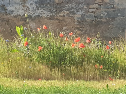 Poppies against a wall